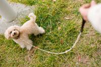 お散歩する犬 02322003257  写真素材・ストックフォト・画像・イラスト素材 アマナイメージズ