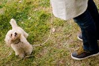 お散歩する犬 02322003258  写真素材・ストックフォト・画像・イラスト素材 アマナイメージズ