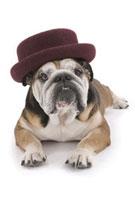 帽子をかぶる犬 02322003659| 写真素材・ストックフォト・画像・イラスト素材|アマナイメージズ
