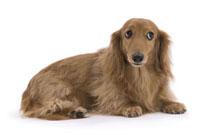 じろりと見つめる犬 02322003662| 写真素材・ストックフォト・画像・イラスト素材|アマナイメージズ