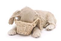 かごに顔を入れる子犬 02322003668| 写真素材・ストックフォト・画像・イラスト素材|アマナイメージズ