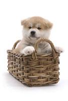 かごに入る子犬 02322003679| 写真素材・ストックフォト・画像・イラスト素材|アマナイメージズ