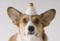 鏡餅と犬 02322003788| 写真素材・ストックフォト・画像・イラスト素材|アマナイメージズ