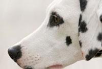 犬の横顔 02322004258  写真素材・ストックフォト・画像・イラスト素材 アマナイメージズ