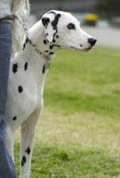 芝生の上で遠くを見ている犬 02322004262  写真素材・ストックフォト・画像・イラスト素材 アマナイメージズ