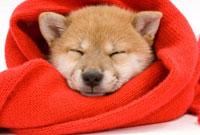 赤いマフラーにくるまれている犬の寝顔