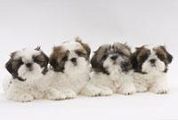 ふせをして同じところを見つめる子犬4頭