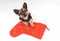 クリスマスソックスと犬