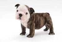 横向きに立つ子犬