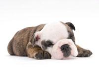 ぐっすり眠る子犬