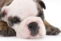 ぐっすり眠る子犬の顔アップ