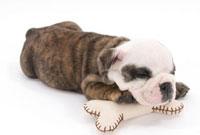 クッションにもたれて眠る子犬