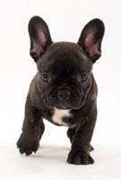 耳の大きな黒い子犬