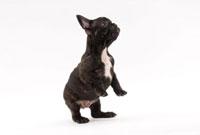 二足立ちする黒い子犬