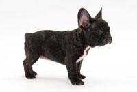 横向きに立つ黒い子犬