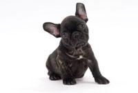 首をかしげる黒い子犬