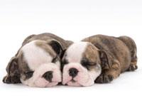 寄り添って寝る子犬二頭
