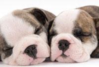 寄り添って寝る子犬二頭の顔アップ