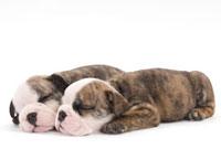 寄り添って眠る子犬二頭