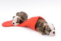 クリスマスソックスと犬二頭