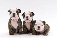 並んで座る子犬三頭