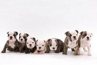 寄り添っている子犬七頭