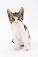 座って見つめている仔猫 02322005001| 写真素材・ストックフォト・画像・イラスト素材|アマナイメージズ