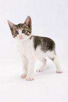 立ち上がって見つめる仔猫 02322005002| 写真素材・ストックフォト・画像・イラスト素材|アマナイメージズ