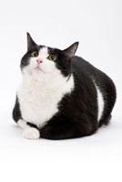 伏せて上を向いている猫 02322005008| 写真素材・ストックフォト・画像・イラスト素材|アマナイメージズ