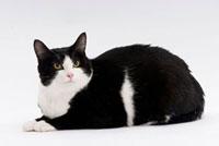 伏せて見つめている猫 02322005009| 写真素材・ストックフォト・画像・イラスト素材|アマナイメージズ
