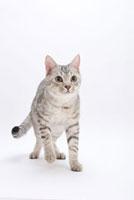 歩いている猫 02322005053| 写真素材・ストックフォト・画像・イラスト素材|アマナイメージズ