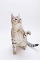座って見つめる猫 02322005055| 写真素材・ストックフォト・画像・イラスト素材|アマナイメージズ