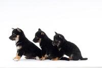 並んでいる仔犬3頭