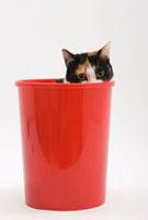 見つめる猫 02322005098| 写真素材・ストックフォト・画像・イラスト素材|アマナイメージズ