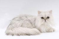 伏せて見つめる猫 02322005107| 写真素材・ストックフォト・画像・イラスト素材|アマナイメージズ