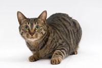 伏せている猫 02322005161| 写真素材・ストックフォト・画像・イラスト素材|アマナイメージズ