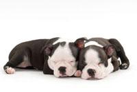 寝ている2匹の仔犬