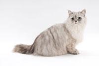 座って見つめている猫 02322005193| 写真素材・ストックフォト・画像・イラスト素材|アマナイメージズ