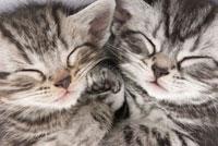 寝ている2匹の仔猫 02322005209  写真素材・ストックフォト・画像・イラスト素材 アマナイメージズ