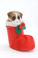 見つめる仔犬 02322005232  写真素材・ストックフォト・画像・イラスト素材 アマナイメージズ