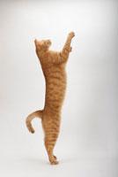 前足をのばして立ち上がる猫