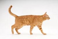 歩いている猫 02322005250| 写真素材・ストックフォト・画像・イラスト素材|アマナイメージズ