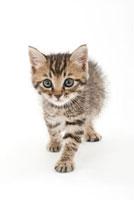 歩いている仔猫 02322005253| 写真素材・ストックフォト・画像・イラスト素材|アマナイメージズ