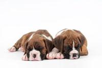 寝ている仔犬2匹