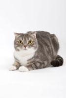伏せている猫 02322005306| 写真素材・ストックフォト・画像・イラスト素材|アマナイメージズ