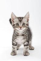 立っている仔猫