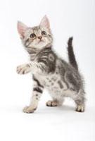 前足を上げている仔猫