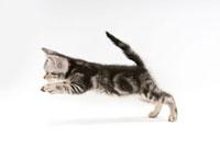 走っている仔猫 02322005354| 写真素材・ストックフォト・画像・イラスト素材|アマナイメージズ
