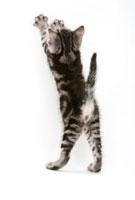 前足を上げて立っている仔猫