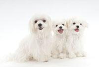 犬の親子 02322005393| 写真素材・ストックフォト・画像・イラスト素材|アマナイメージズ